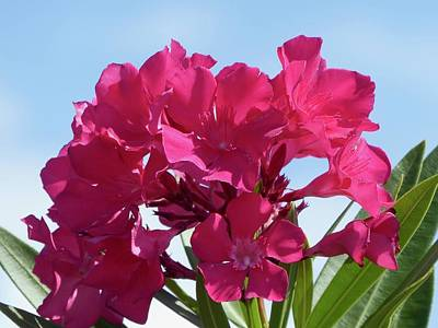 Photograph - Pinks In The Sun by Margaret Brooks
