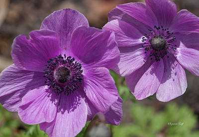 Photograph - Pinky Purple Cosmos by Suzanne Gaff