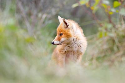 Pinocchio - The Long Nosed Fox Cub Art Print