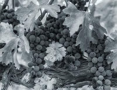 Photograph - Pinot 2 by Jonathan Nguyen
