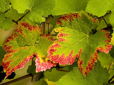 Photograph - Pinot Grape Leaves by Jean Noren