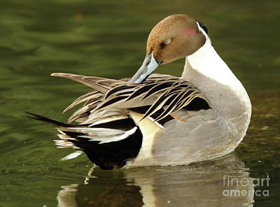 Pintail Drake Grooming Art Print by Max Allen