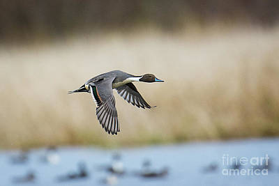 Photograph - Pintail Duck by Craig Leaper