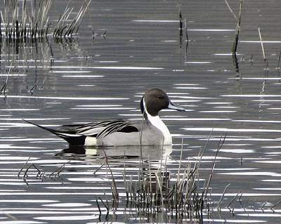 Photograph - Pintail Duck by I'ina Van Lawick