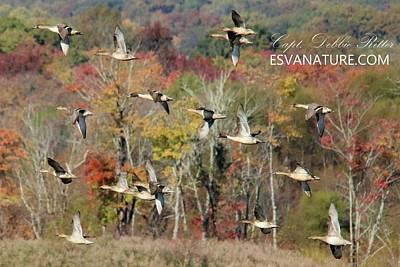 Photograph - Pintail Ducks 0484 by Captain Debbie Ritter