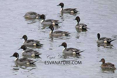 Photograph - Pintail Ducks 8428 by Captain Debbie Ritter