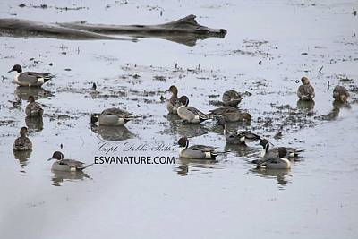 Photograph - Pintail Ducks 8478 B by Captain Debbie Ritter
