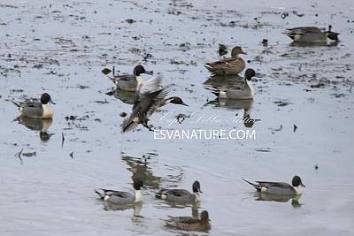 Photograph - Pintail Ducks 8505 by Captain Debbie Ritter
