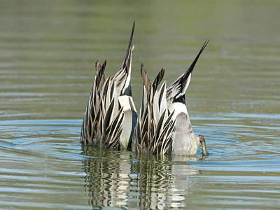 Photograph - Pintail Ducks Dive by Tam Ryan