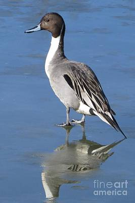 Photograph - Pintail Ice Walk by Frank Townsley