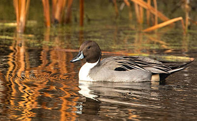 Art Print featuring the photograph Pintail by Kelly Marquardt
