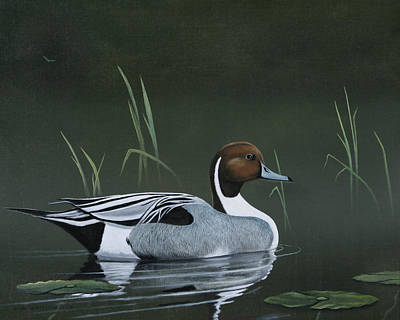 Pintail Portrait Art Print by Don Griffiths