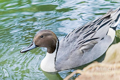 Photograph - Pintail Portrait by Kate Brown