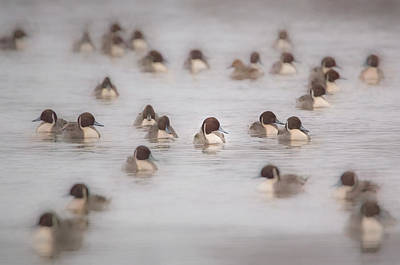 Photograph - Pintail Repeat  by Kelly Marquardt