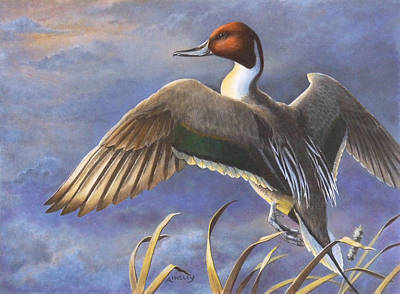 Wildfowl Painting - Pintail Rising by Ainsley McNeely