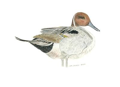 Drawing - Pintail by Sara Stevenson