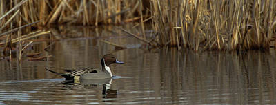 Photograph - Pintail Scene  by Timothy McIntyre