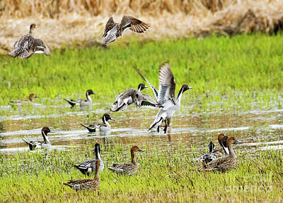 Photograph - Pintail Take-off by Mike Dawson