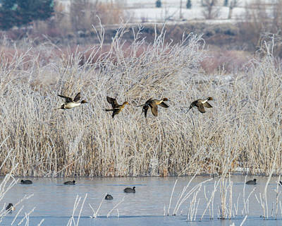 Photograph - Pintails Along The Provo River by TL Mair