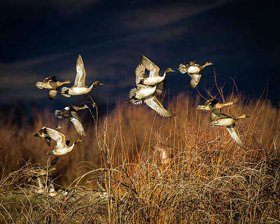 Pintails And Wigeons Art Print