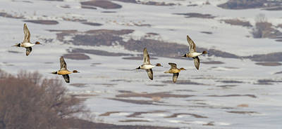 Photograph - Pintails - Courtship Flight by TL Mair