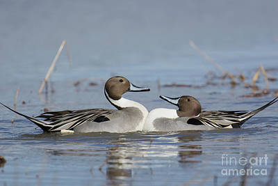 Photograph - Pintails by Craig Leaper