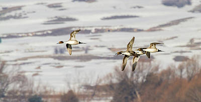 Ducks In Flight Photograph - Pintails In Flight by TL Mair