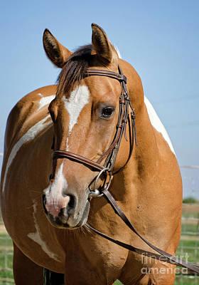 Photograph - Pinto Pony Portrait by Jim And Emily Bush