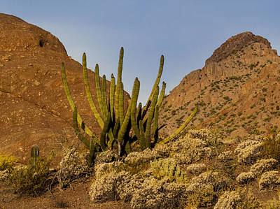 Photograph - Pipe Organ Cactus At Sunrise by Jean Noren
