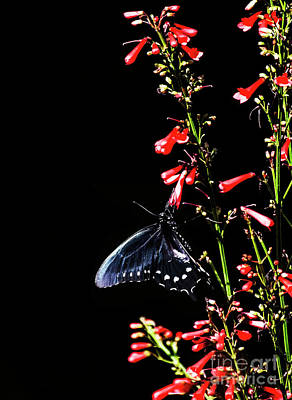 Photograph - Pipevine On Red Flowers  by Ruth Jolly