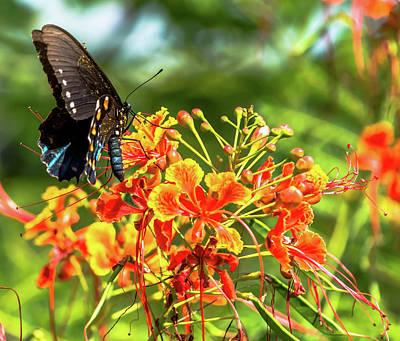Photograph - Pipevine Swallowtail 2 by Leticia Latocki