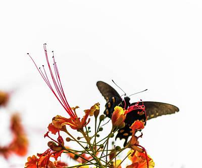 Photograph - Pipevine Swallowtail 3 by Leticia Latocki