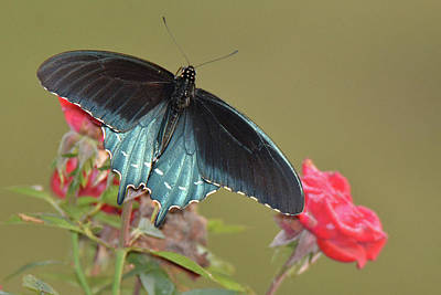 Photograph - Pipevine Swallowtail by Alan Lenk