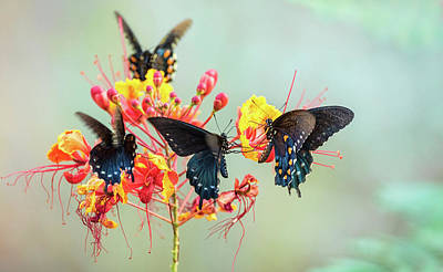 Blue Swallowtail Photograph - Pipevine Swallowtail Butterflies  by Saija Lehtonen
