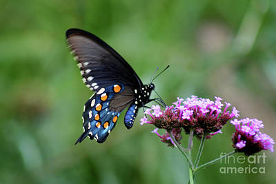 Photograph - Pipevine Swallowtail Butterfly 2011 by Karen Adams