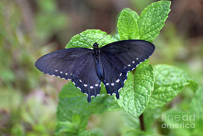 Photograph - Pipevine Swallowtail Butterfly I by Denise Bruchman
