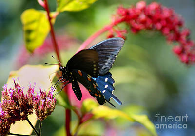 Photograph - Pipevine Swallowtail Butterfly In Garden by Karen Adams