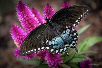 Photograph - Pipevine Swallowtail Butterfly by LeeAnn McLaneGoetz McLaneGoetzStudioLLCcom