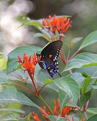 Photograph - Pipevine Swallowtail Butterfly On Firebush by Carol Bradley