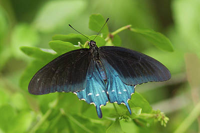 Photograph - Pipevine Swallowtail Butterfly by Paul Rebmann
