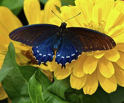 Photograph - Pipevine Swallowtail Butterfly by Ronda Ryan