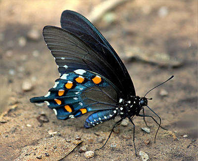 Photograph - Pipevine Swallowtail Close-up by Sheila Brown