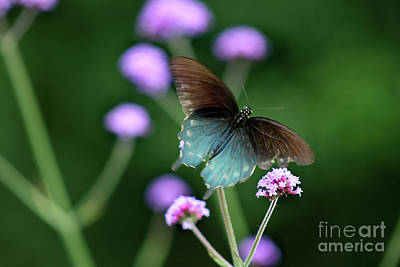 Photograph - Pipevine Swallowtail In Flight by Karen Adams