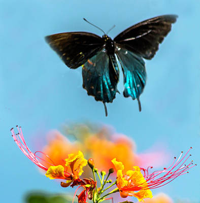 Photograph - Pipevine Swallowtail by Leticia Latocki