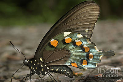 Photograph - Pipevine Swallowtail by Mike Eingle