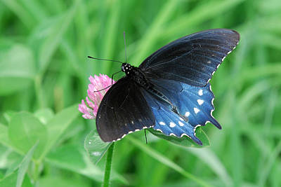 Pipevine Swallowtail Butterfly Photograph - Pipevine Swallowtail On Clover by Alan Lenk