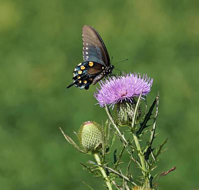 Print featuring the photograph Pipevine Swallowtail by Sandy Keeton