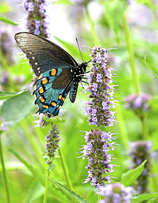 Blue Swallowtail Photograph - Pipevine Swallowtail  by William Jobes