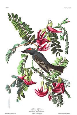 Flycatcher Wall Art - Painting - Piping Flycatcher by John James Audubon