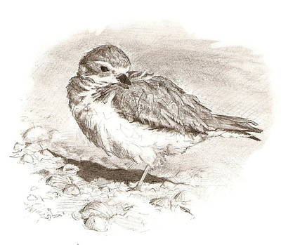 Drawing - Piping Plover by Abby McBride